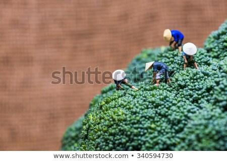 Miniature asian peasants harvesting broccoli Stock photo © Kirill_M