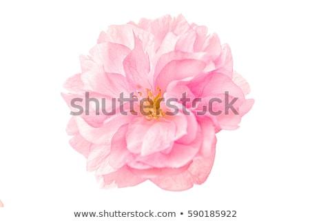 Sakura flores rosa cereza aislado blanco Foto stock © orensila