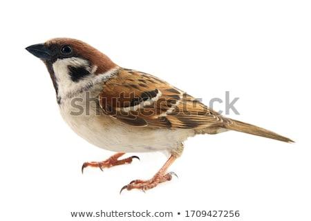 дерево воробей природы птица животного Сток-фото © brm1949