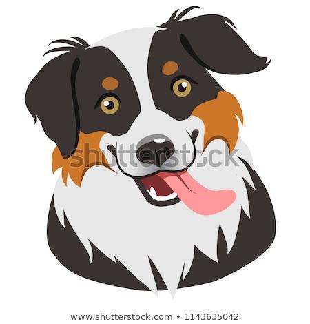 トリコロール · オーストラリア人 · 羊飼い · 白 · 犬 · 動物 - ストックフォト © cynoclub
