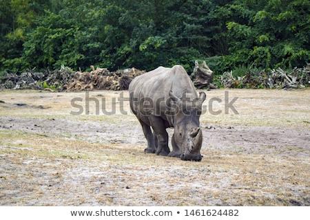 Starring White rhino in the Kruger National Park Stock photo © simoneeman