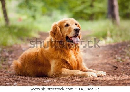 boldog · kutya · golden · retriever · közelkép · portré · vicces - stock fotó © goroshnikova