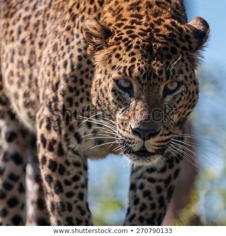 Leopar yürüyüş kamera park Güney Afrika hayvanlar Stok fotoğraf © simoneeman