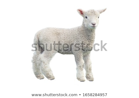 Stock photo: Sheep on white background