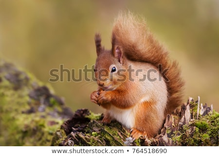 Red Squirrel on Log stock photo © suerob