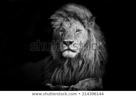 two lion cubs in black and white stock photo © simoneeman