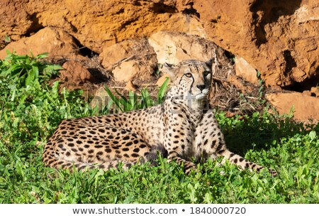 cheetah resting stock photo © simoneeman