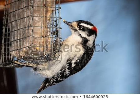 Downy Woodpecker on feeder Stock photo © pictureguy