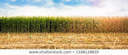 Sequía maíz campo cultivado puesta de sol Foto stock © stevanovicigor