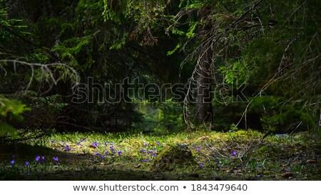 Clareira floresta primeiro flores da primavera montanha Foto stock © Kotenko