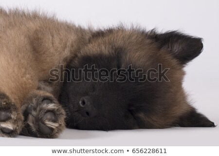 dog puppy belgian shepherd tervuren sleeping close up head stock photo © avheertum
