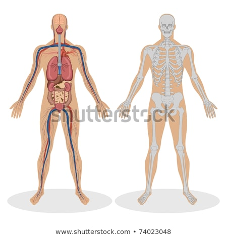Homme torse muscles organes interne squelette Photo stock © AlienCat