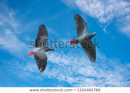 Africano cinza papagaio voador Congo vôo Foto stock © AlienCat