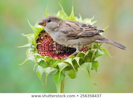 House Sparrow (Passer domesticus) on a branch Stock photo © lightpoet