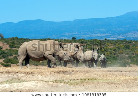 Cute baby rhino white background Stock photo © bluering