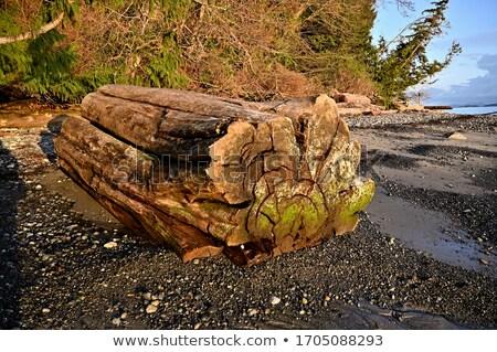 Large Driftwood tree close up Stock photo © bobkeenan