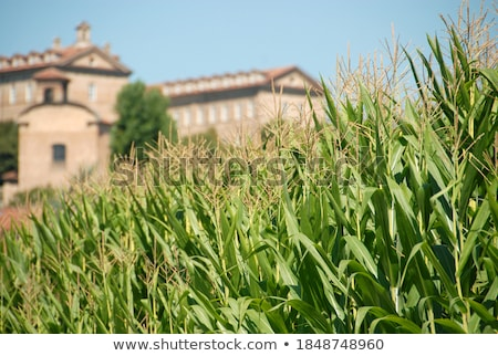 Rizsföld Olaszország növény Európa vidék rizs Stock fotó © phbcz