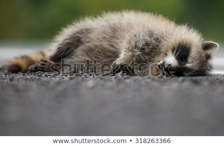 Road Kill Raccoon Stock photo © brm1949