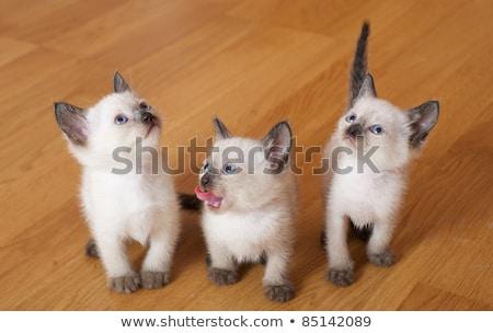 playing siamese kitten stock photo © cynoclub