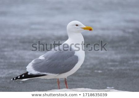 A Herring Gull Stock photo © michaklootwijk