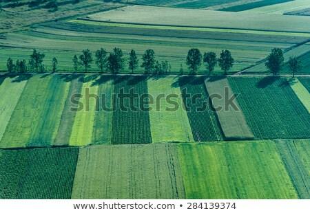 トウモロコシ畑 鳥 画像 飛行 空 食品 ストックフォト © Kirschner