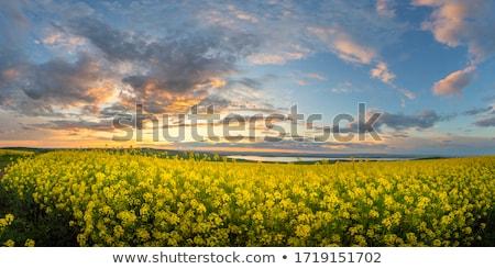 arany · mező · kék · ég · kilátás · virág · fa - stock fotó © kotenko