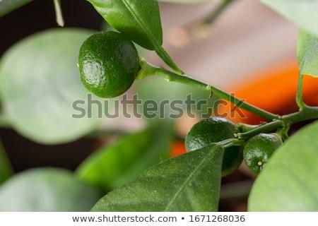 Citrus-tree branch with thorns Stock photo © boroda