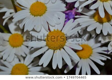 close up little daisy stock photo © thomaseder