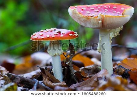 Dos seta venenosa setas primer plano vista naturaleza Foto stock © Mikko