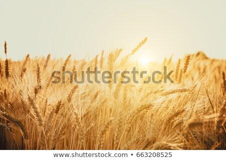 ripe wheat at sunset with sun Stock photo © mycola