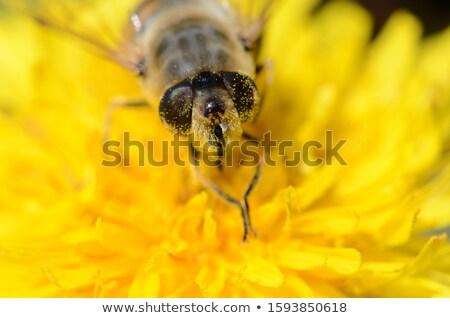 Scavenger fly on a dandelion flower Stock photo © sarahdoow