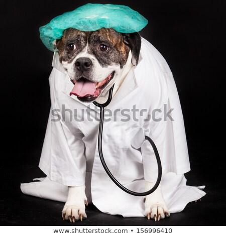 Американский бульдог собака врач пальто стетоскоп Сток-фото © EwaStudio