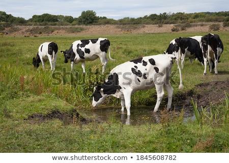 cow 23 Stock photo © LianeM