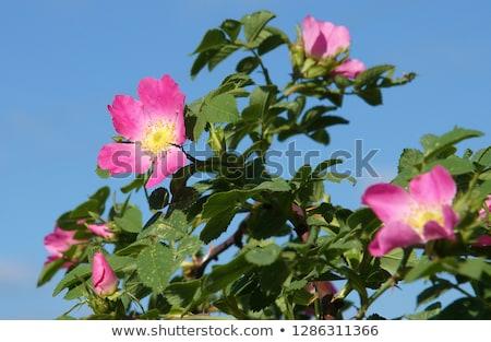 rosehip bush dog rose stock photo © aleksa_d