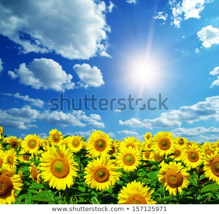 подсолнечника облачный Blue Sky области солнечный свет поздно Сток-фото © franky242