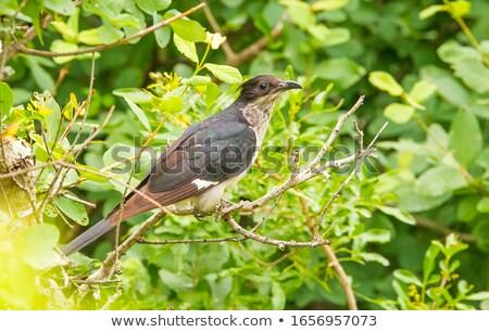 Koekoek boom natuur vogel afrika mooie Stockfoto © davemontreuil