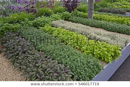 Ogród szałwia puli odizolowany biały Zdjęcia stock © ajt