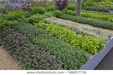 Garten Salbei Topf isoliert weiß Stock foto © ajt