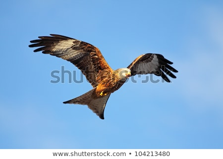 red kite milvus milvus stock photo © chris2766