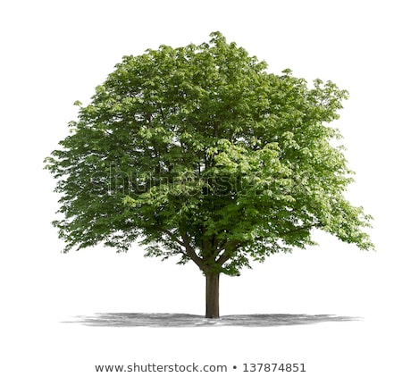 old oak tree on a white background stock photo © zerbor
