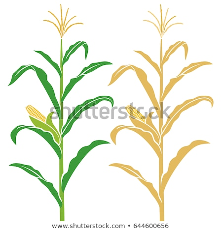 Corn on stalk in maize field Stock photo © stevanovicigor
