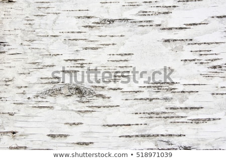 bark of birch Stock photo © frescomovie