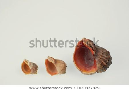 Shell and mollusc of rapana venosa. Stock photo © vapi