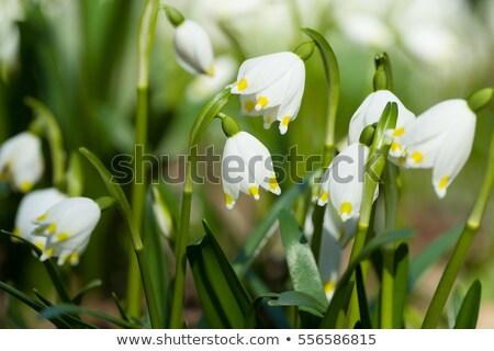 Kar tanesi bahar çiçekleri makro atış çiçek Stok fotoğraf © mroz