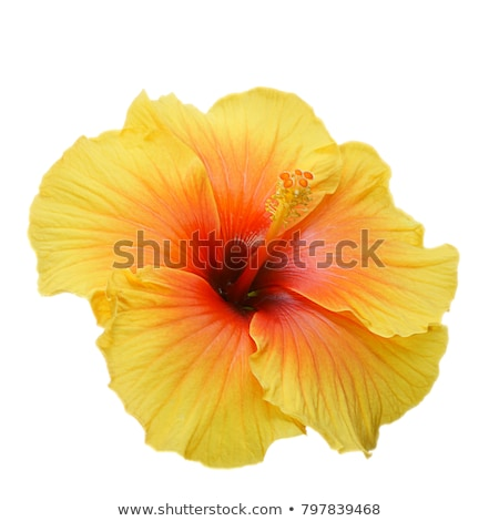 Citromsárga hibiszkusz izolált sötét természet levél Stock fotó © pazham