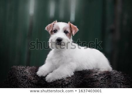 Jack russell terrier szczeniąt posiedzenia koszyka odizolowany biały Zdjęcia stock © silense