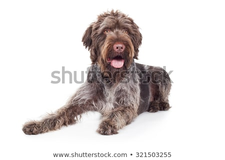 wired hair german pointer lying in a white studio Stock photo © vauvau