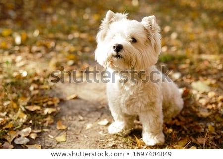 Fehér nyugat terrier áll stúdió szépség Stock fotó © vauvau