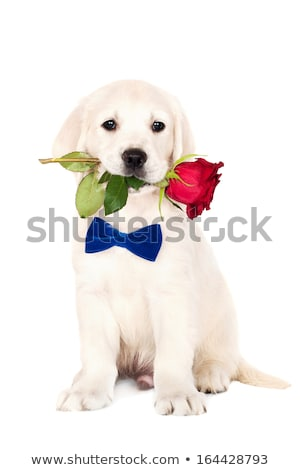 Sweet Golden Retriever in a white studio background holding ball Stock photo © vauvau
