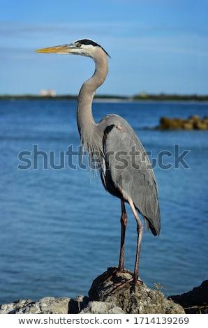 grijs · reiger · vogel · permanente · water - stockfoto © zhekos